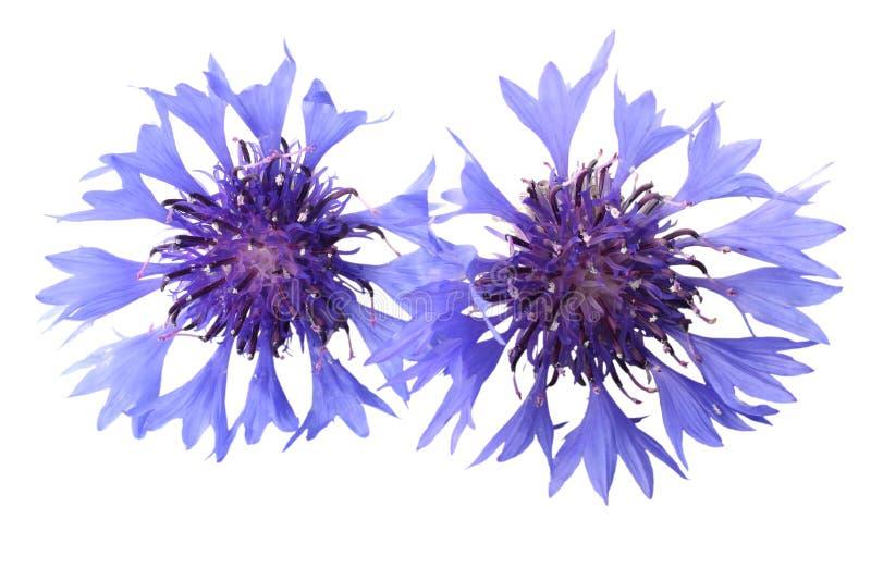 Błękitny chabrowy Cyanus segetum odizolowywający na białym tle zdjęcia stock