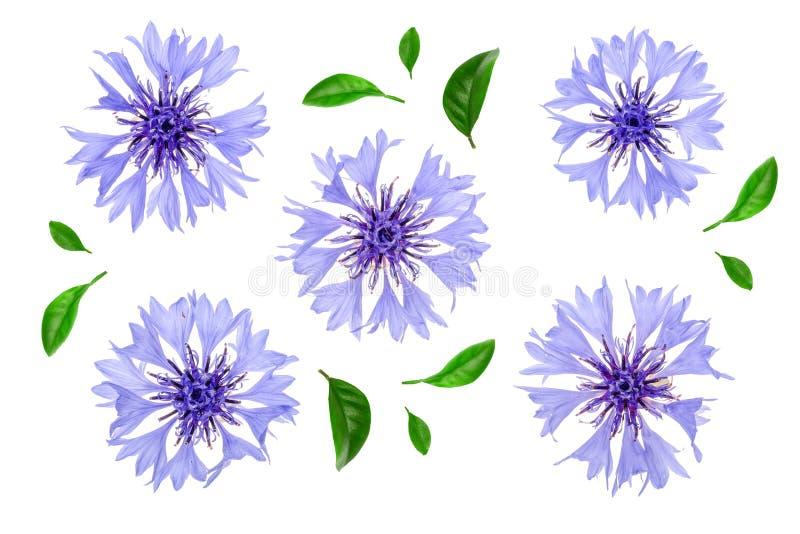 Błękitny chabrowy odosobniony na białym tle makro- ilustracja wektor