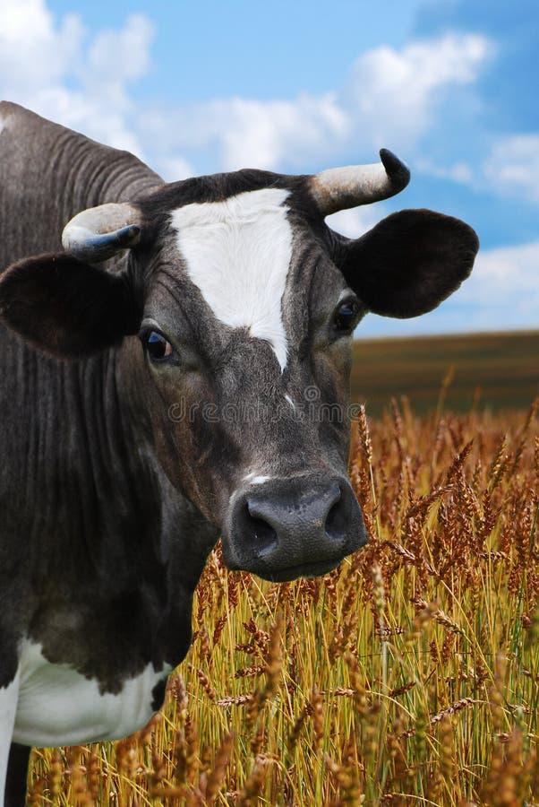 błękitny chmurny krowy paśnika niebo zdjęcia royalty free