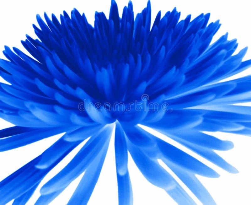 błękitny chryzantema zdjęcia stock
