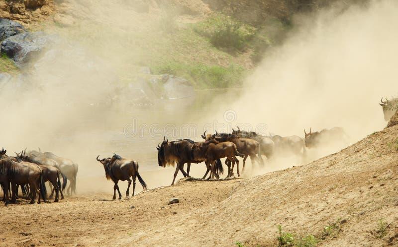 błękitny connochaetes stada taurinus wildebeest fotografia royalty free