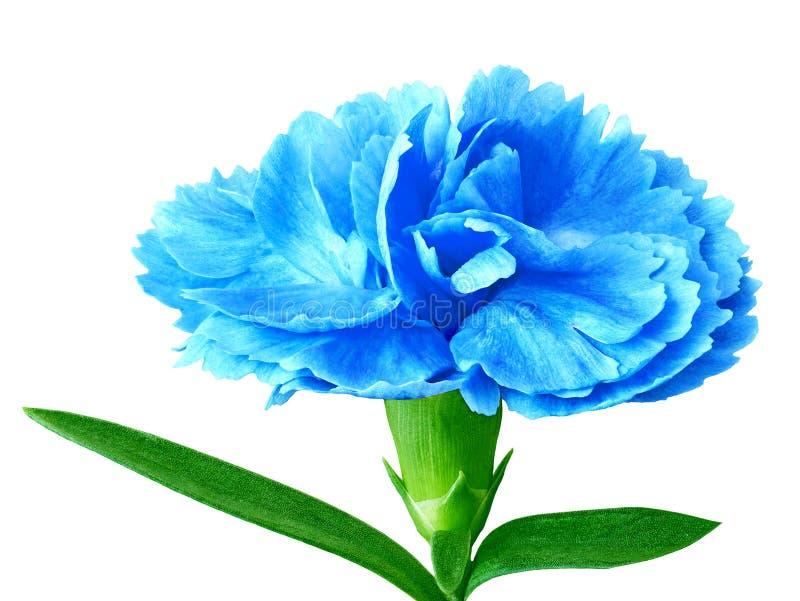Błękitny cyan goździka kwiat odizolowywający na białym tle Zakończenie zdjęcia royalty free