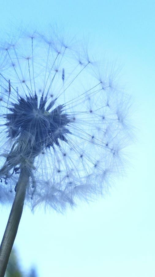 błękitny dandelion zdjęcia royalty free