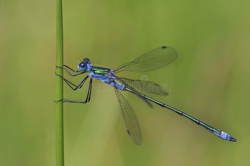 Błękitny Dasher Dragonfly zdjęcie royalty free