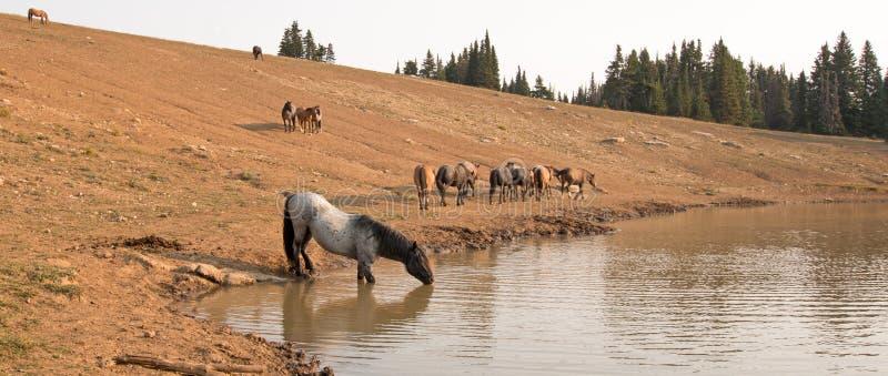 Błękitny Dereszowaty ogier pije przy waterhole z stadem dzicy konie w Pryor gór Dzikiego konia pasmie w Montana usa obraz royalty free