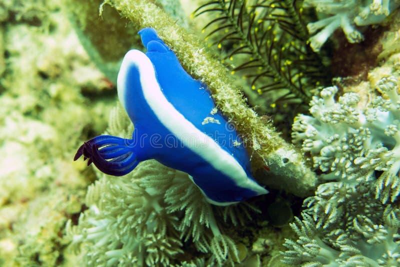 Błękitny Dorid Nudibranch, Denna podrożec - Borneo, Malezja obrazy stock