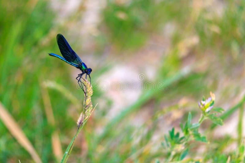 Błękitny dragonfly siedzi na ucho śródpolna roślina w pogodnym letnim dniu obraz royalty free