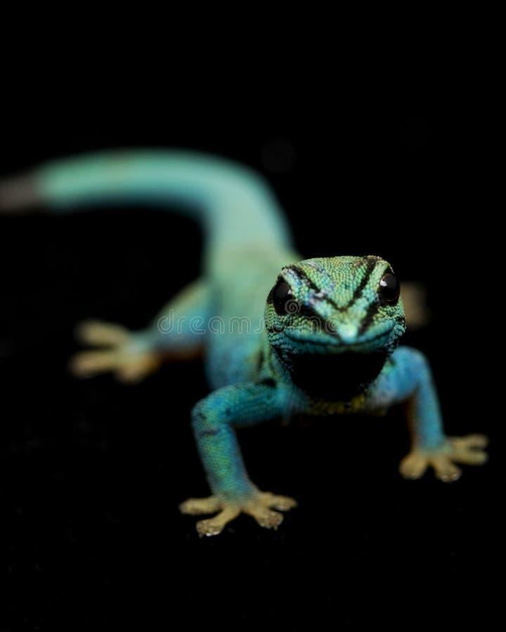 błękitny dzień elektryczny gekonów lycodactylus williamsi fotografia stock