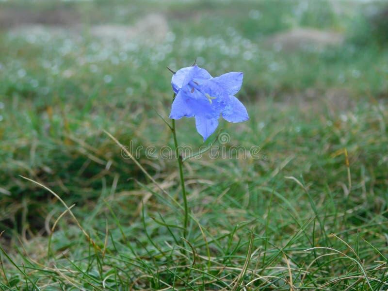 Błękitny dzwon jest niektóre halnym kwiatem typ zdjęcia royalty free