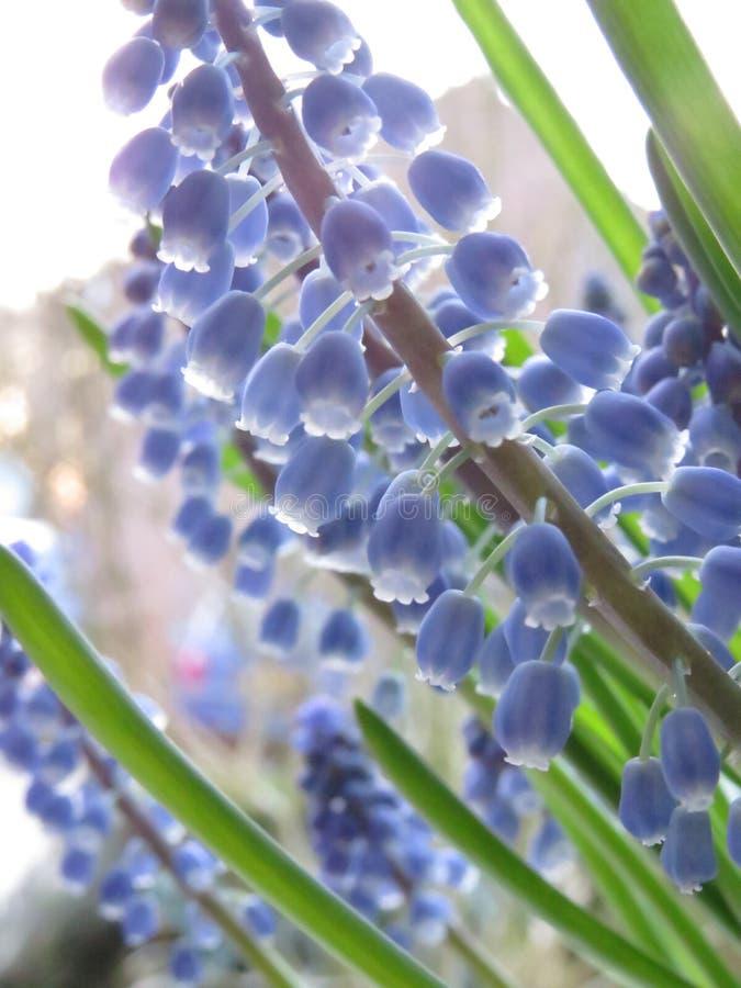 Błękitny dzwonkowy makro- kwiat z zielonymi liśćmi fotografia royalty free