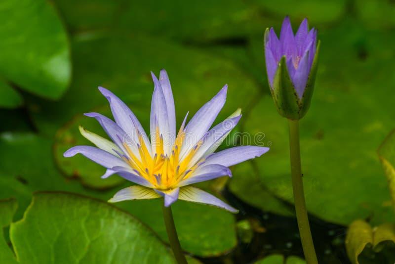 Błękitny Egipski lotosowy Nymphaea caerulea fotografia stock