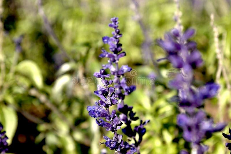 Błękitny fiołkowy kwiatu ogródu zakończenie zdjęcie stock