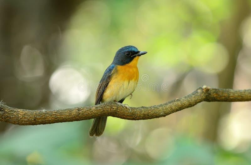 błękitny flycatcher wzgórza samiec fotografia stock