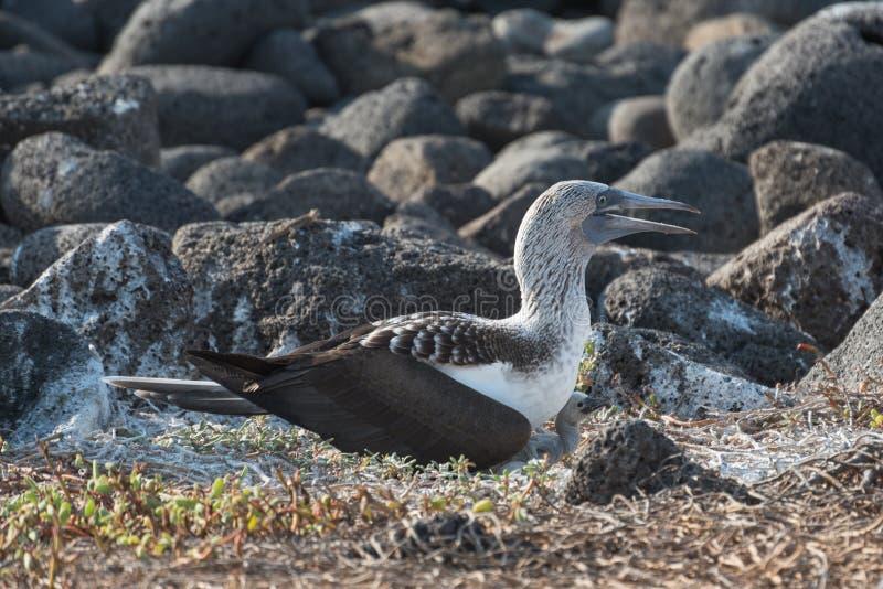 Błękitny footed dureń na gniazdeczku z jajkiem, Północny Seymour, Galapagos wyspy, Ekwador, Ameryka Południowa zdjęcia royalty free