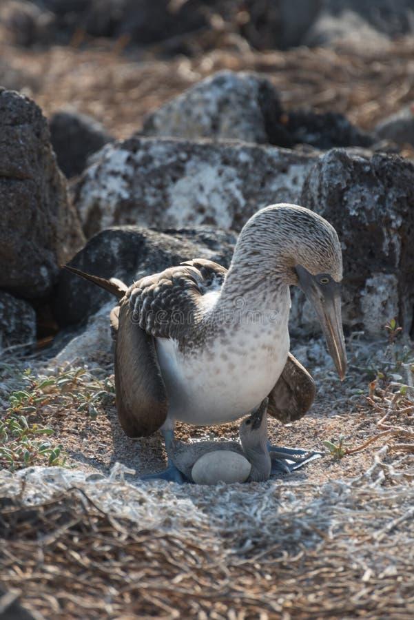 Błękitny footed dureń na gniazdeczku z jajkiem, Północny Seymour, Galapagos wyspy, Ekwador, Ameryka Południowa zdjęcie royalty free