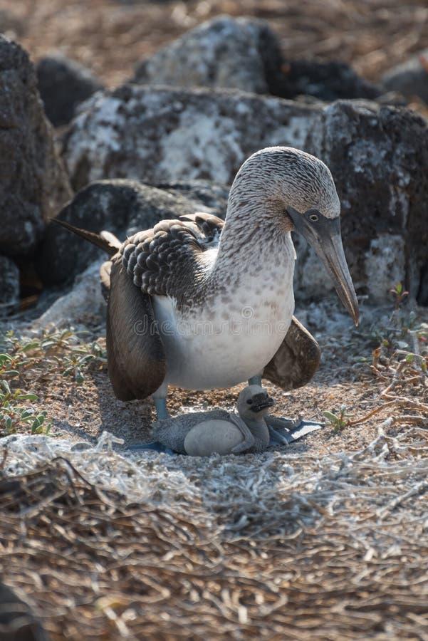 Błękitny footed dureń na gniazdeczku z jajkiem, Północny Seymour, Galapagos wyspy, Ekwador, Ameryka Południowa obrazy stock
