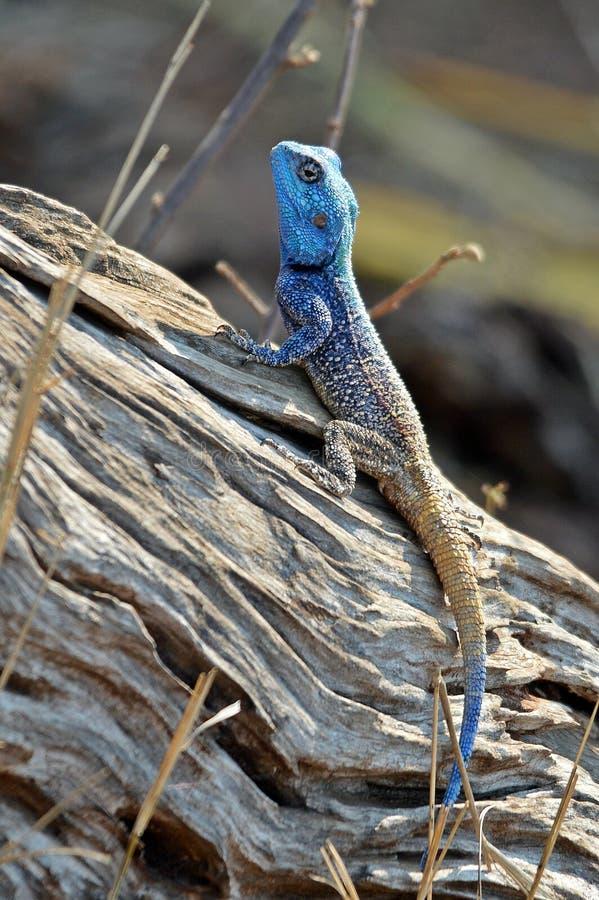 Błękitny Głowiasty Drzewny Agama - Agama Atricollis zdjęcia royalty free