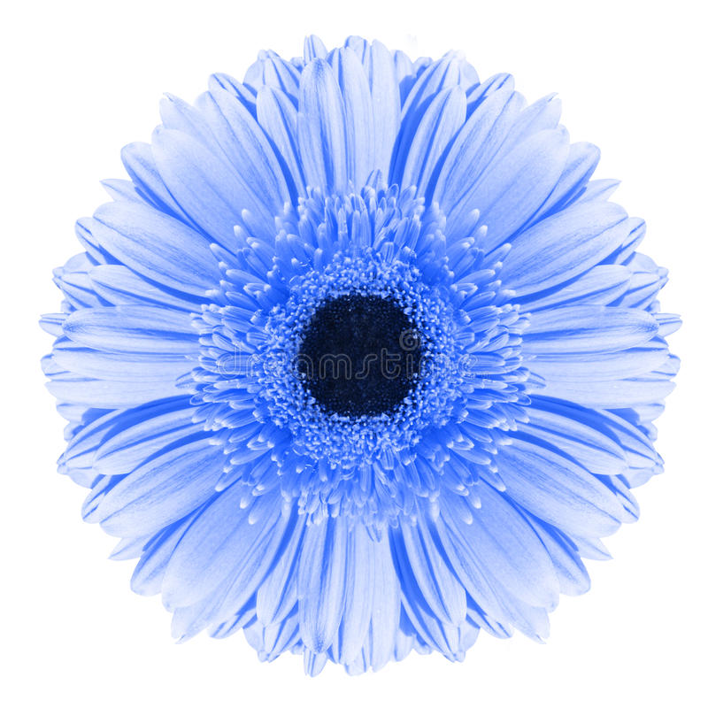 Błękitny gerbera kwiat fotografia stock