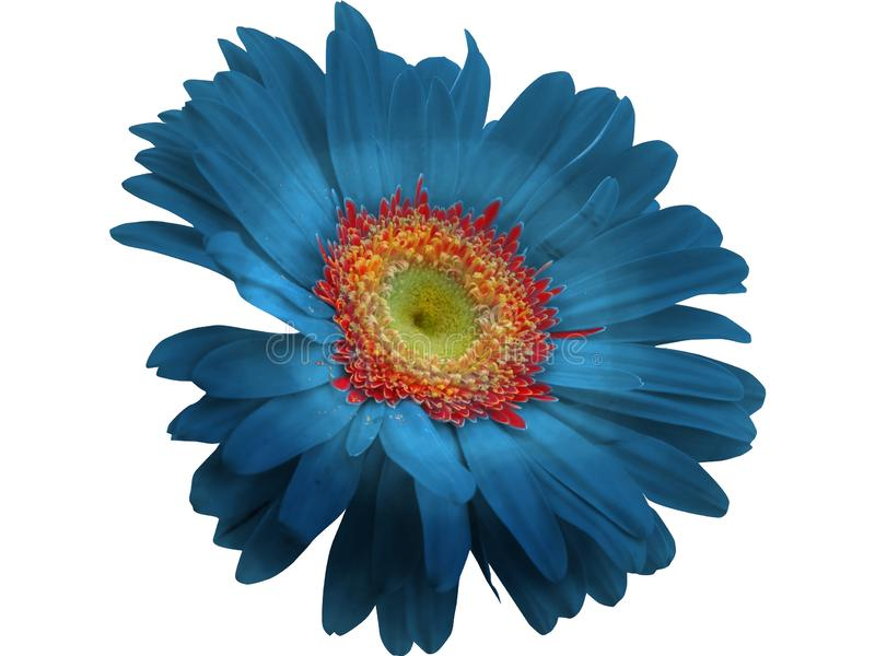 Błękitny Gerbera kwiat odizolowywający z PNG formatem zdjęcia royalty free