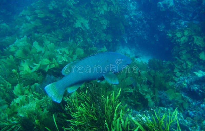 Błękitny groper 2 fotografia stock
