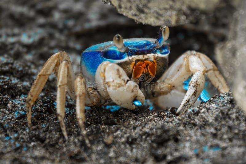 Błękitny gruntowy krab obraz stock