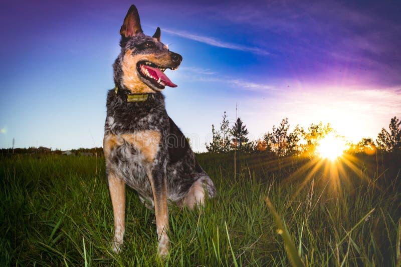 Błękitny Heeler pies bawić się przy parkiem obrazy royalty free