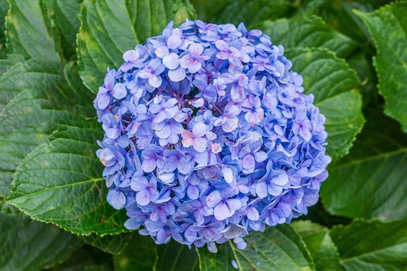 Błękitny hortensi hortensia kwiatu rośliny szczegół zdjęcie royalty free