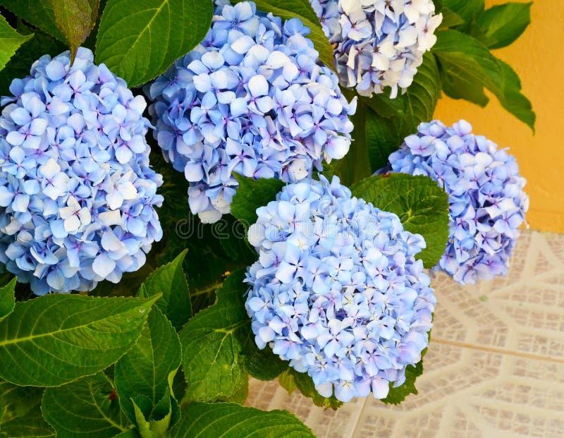 Błękitny hortensi hortensi Hortensia lub macrophylla kwitniemy w ogródzie Dekoracyjny rośliny pojęcie fotografia royalty free