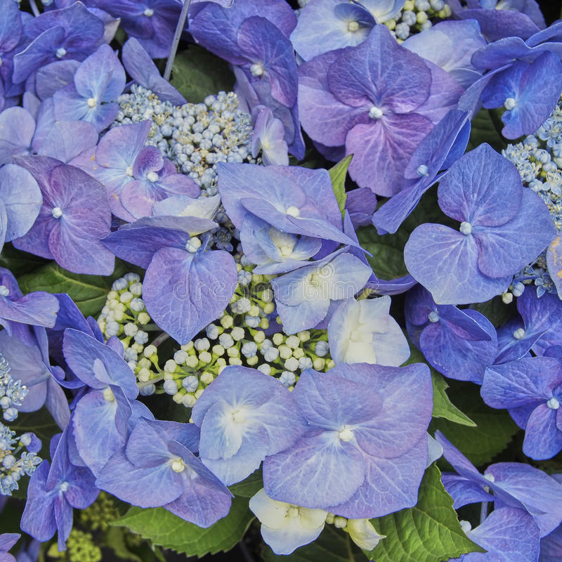 Błękitny Hortensia kwitnie zbliżenie obrazy royalty free