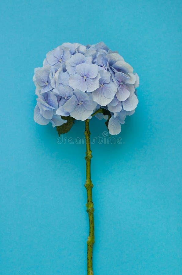 Błękitny hortensja kwiat na błękitnym tle obrazy stock