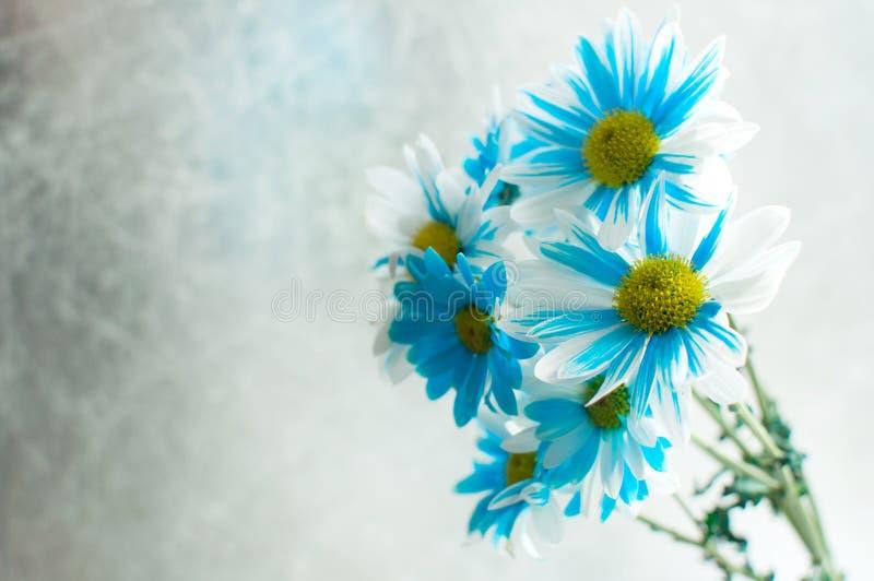 Błękitny i biały aster kwitnie w szklanej wazie obrazy royalty free