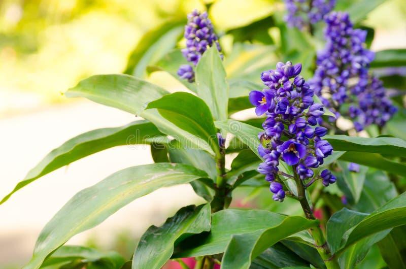 Błękitny imbirowy kwiat w wiosna sezonie przy ogródem botanicznym zdjęcia royalty free