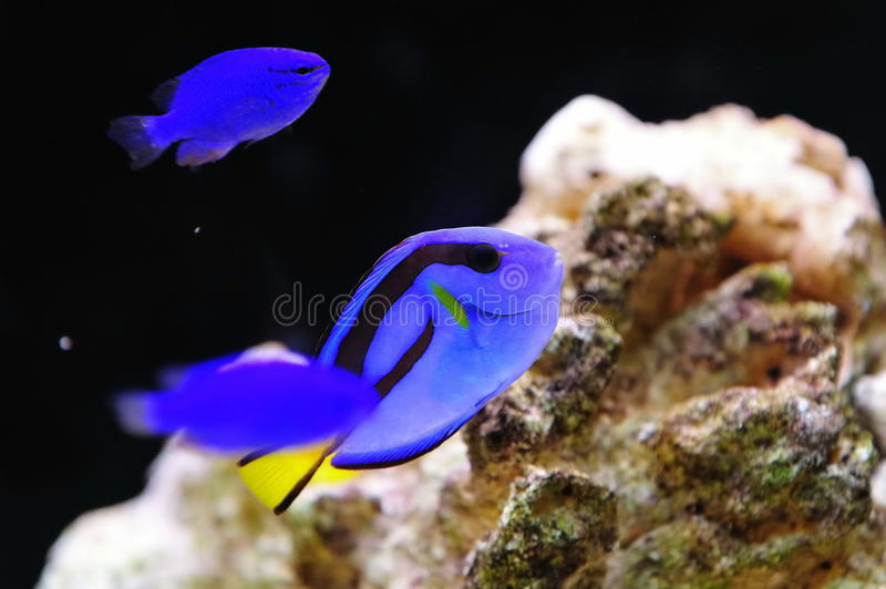 błękitny jaskrawy królewska blaszecznica fotografia stock