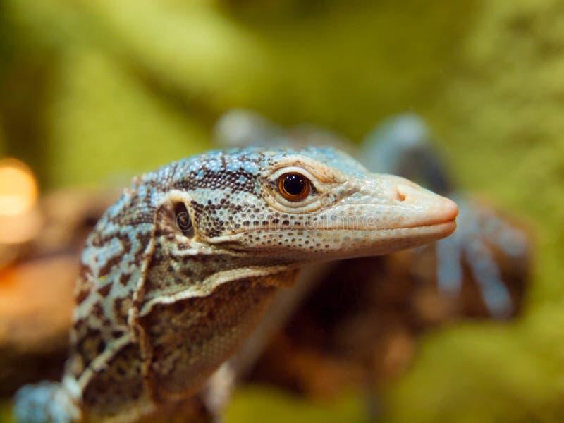 błękitny jaszczurki monitoru drzewo obrazy stock