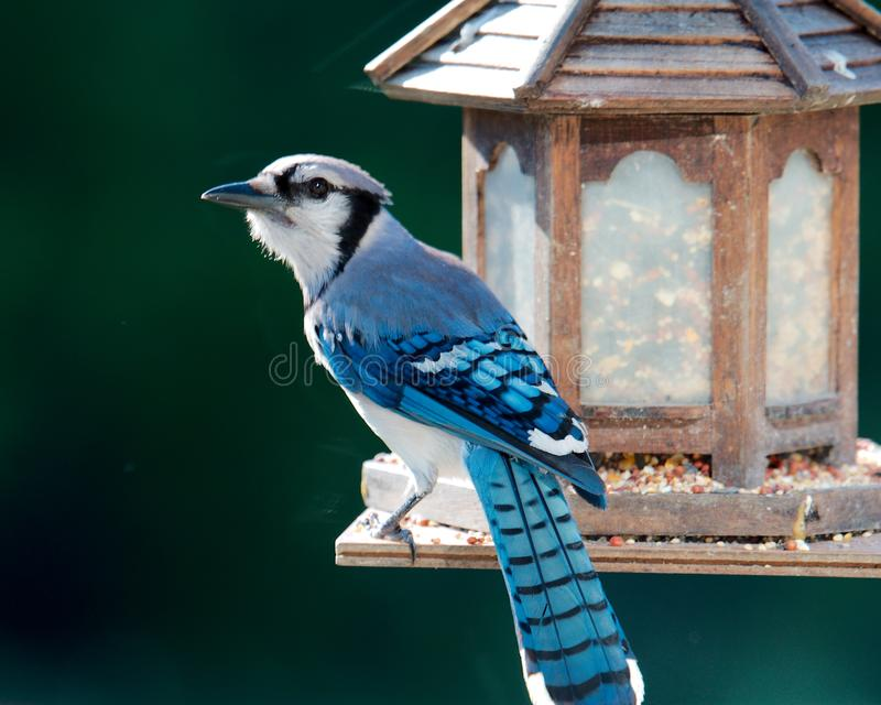 Błękitny Jay zdjęcia stock