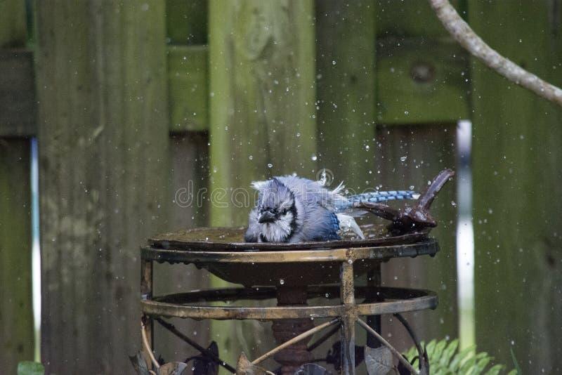 Błękitny Jay Bierze skąpanie i Bryzga z Mokrymi piórkami obraz stock