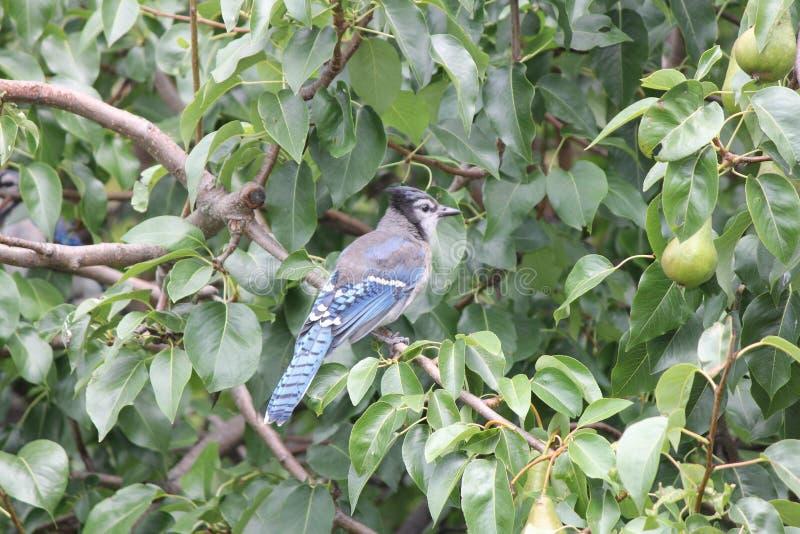 Błękitny Jay na gałąź (Cyanocitta cristata) zdjęcia royalty free