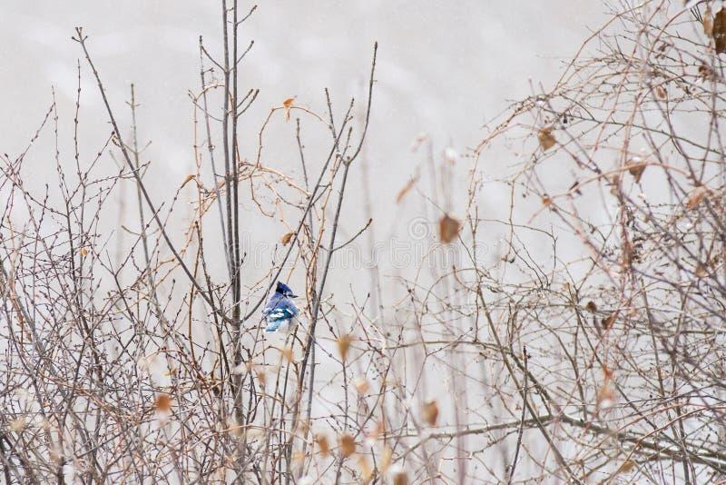 Błękitny Jay odpoczywa na gałąź na śnieżnym zima ranku fotografia royalty free