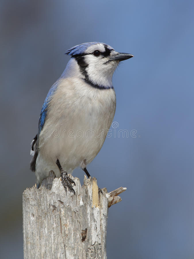 Błękitny Jay Umieszczający na Drzewnym fiszorku fotografia stock