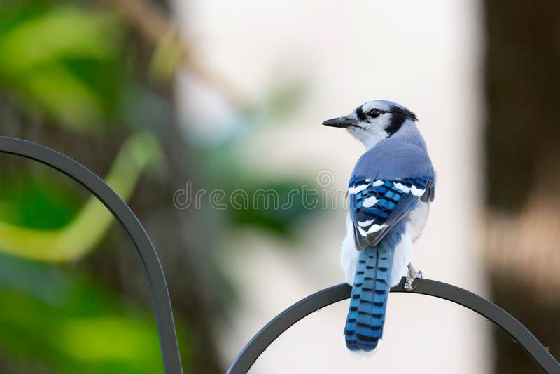 Błękitny Jay umieszczający na ptasim dozowniku zdjęcie royalty free