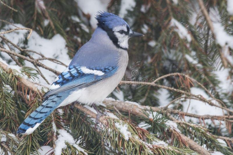 Błękitny Jay umieszczający w sośnie zdjęcie stock