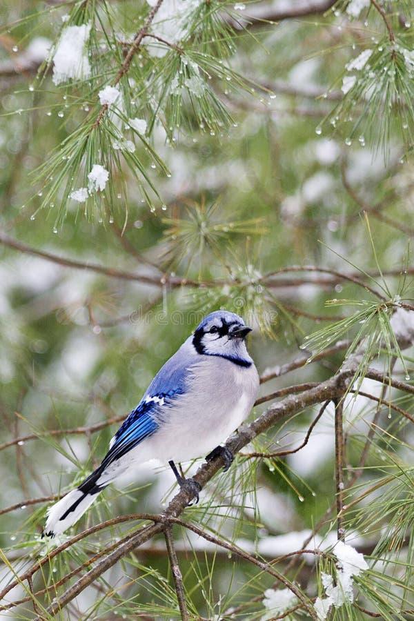 Błękitny Jay w zimie (Cyanocitta cristata) zdjęcie stock