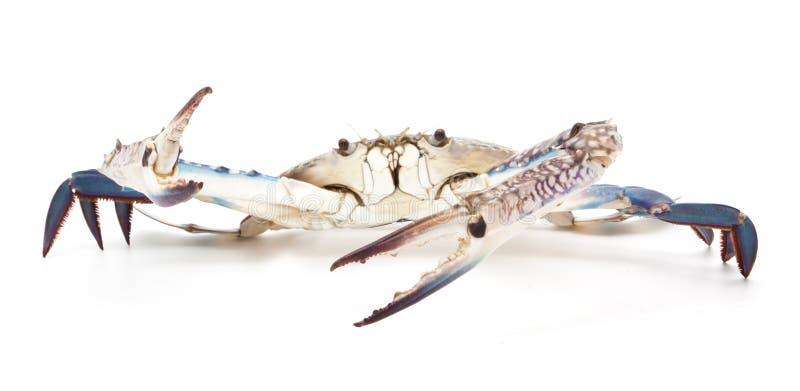 Błękitny krab na bielu zdjęcie stock