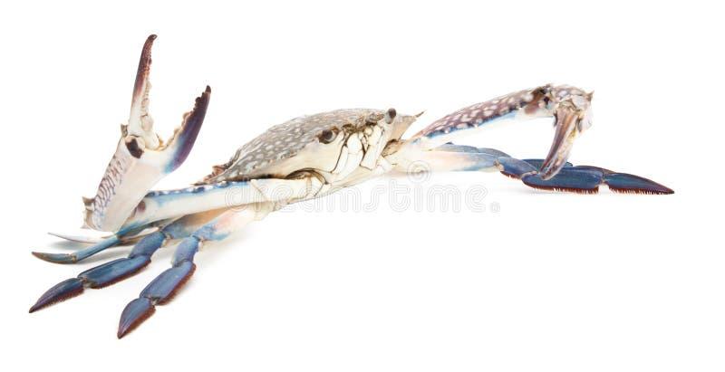 Błękitny krab odizolowywający na bielu obraz royalty free
