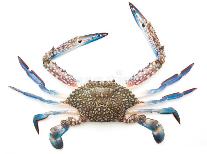 Błękitny krab odizolowywający na bielu fotografia stock