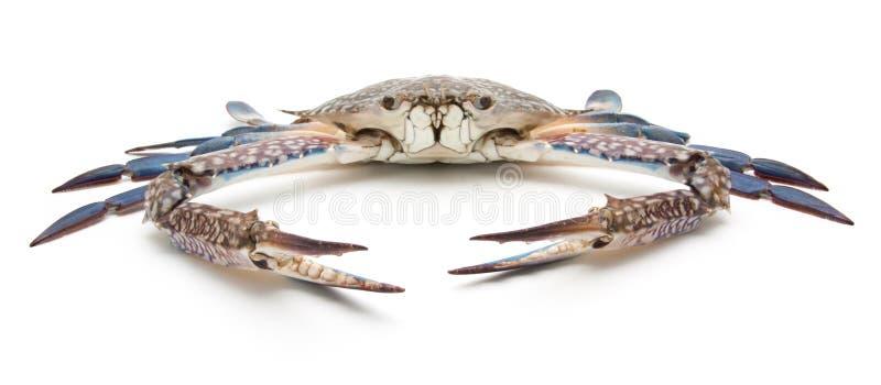 Błękitny krab odizolowywający na bielu zdjęcie stock