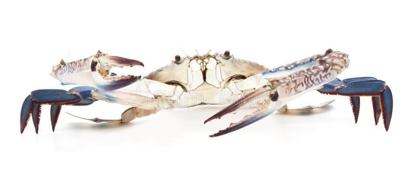 Błękitny krab odizolowywający na bielu zdjęcia stock