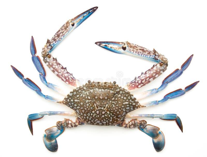 Błękitny krab odizolowywający na bielu zdjęcia royalty free