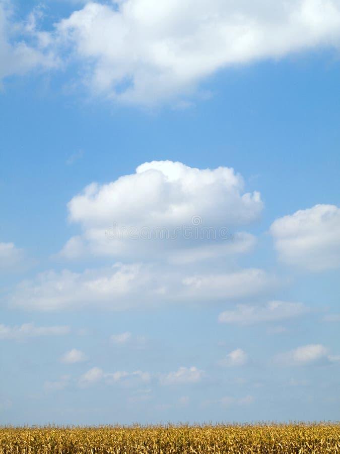 błękitny kukurydzanego pola złoty niebo obraz stock