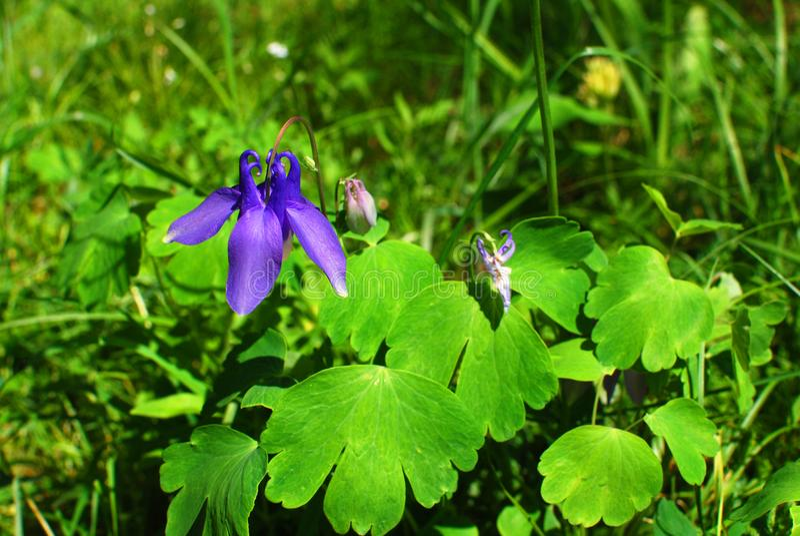 Błękitny kwiat na zielonym łąkowym słonecznym dniu obrazy stock